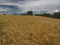 French wheat fields